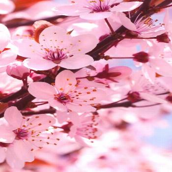 cherry blossoms    Garden paths serve primarily to connect two points. In addition to this practica