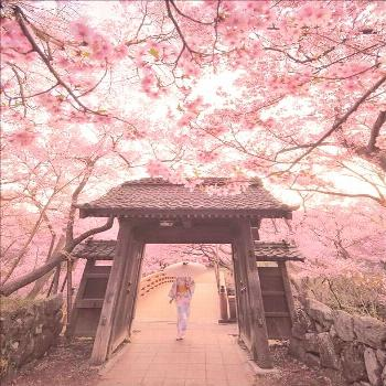 √The Bloom of Cherry Blossoms in Japan √The Bloom of Cherry Blossoms in Japan
